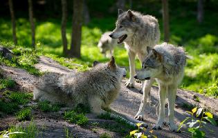 Ulven er kommet til Danmark